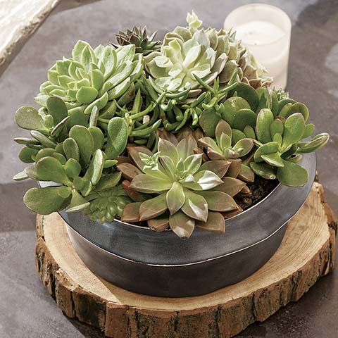 Waverly Ceramic Succulent