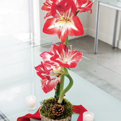 Potted Amaryllis Bulb