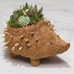 Succulent Hedgehog