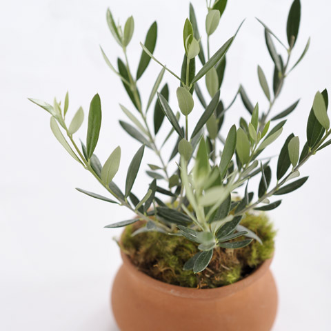 mediterranean olive tree all gifts olive cocoa