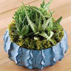 Bleu Succulent Potager