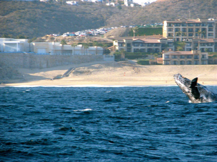 <p>One of the attractions of Los Cabos Tourist Corridor is the arrival of the gray whale</p>