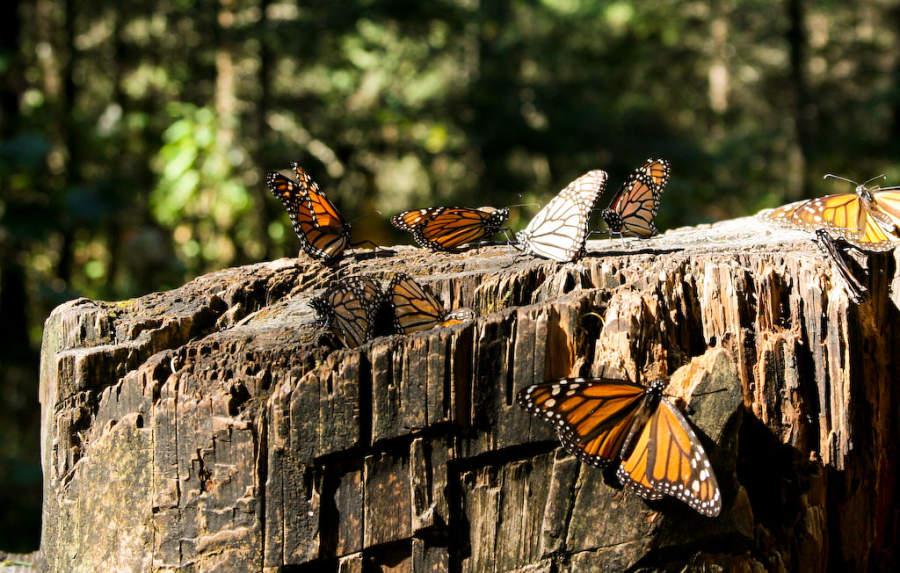 <p>Monarch ButterflyBiosphereReserve</p>