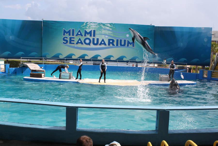 <p>Show de delfines en el parque acuático Miami Seaquarium</p>