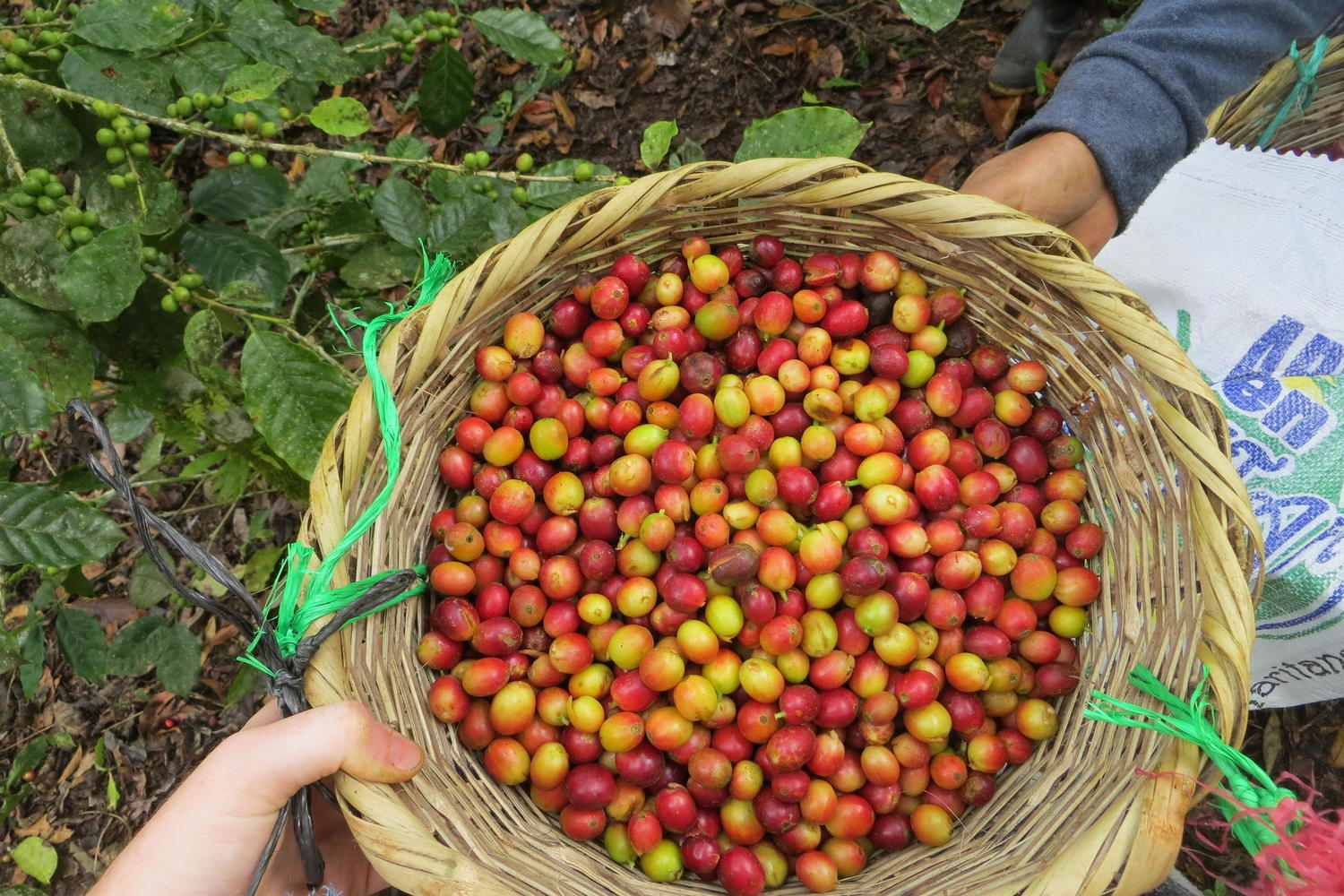 Collecting coffee cherries in the hills of Northern Nicaragua