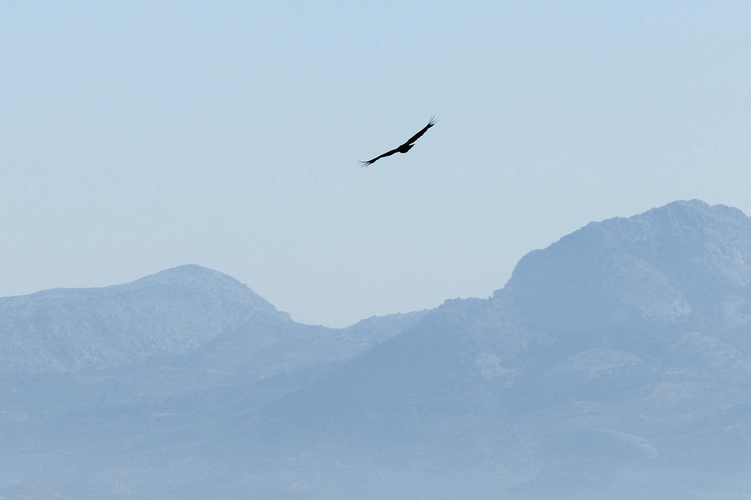 A griffon vulture soars above the hills of the Sierras Subbeticas