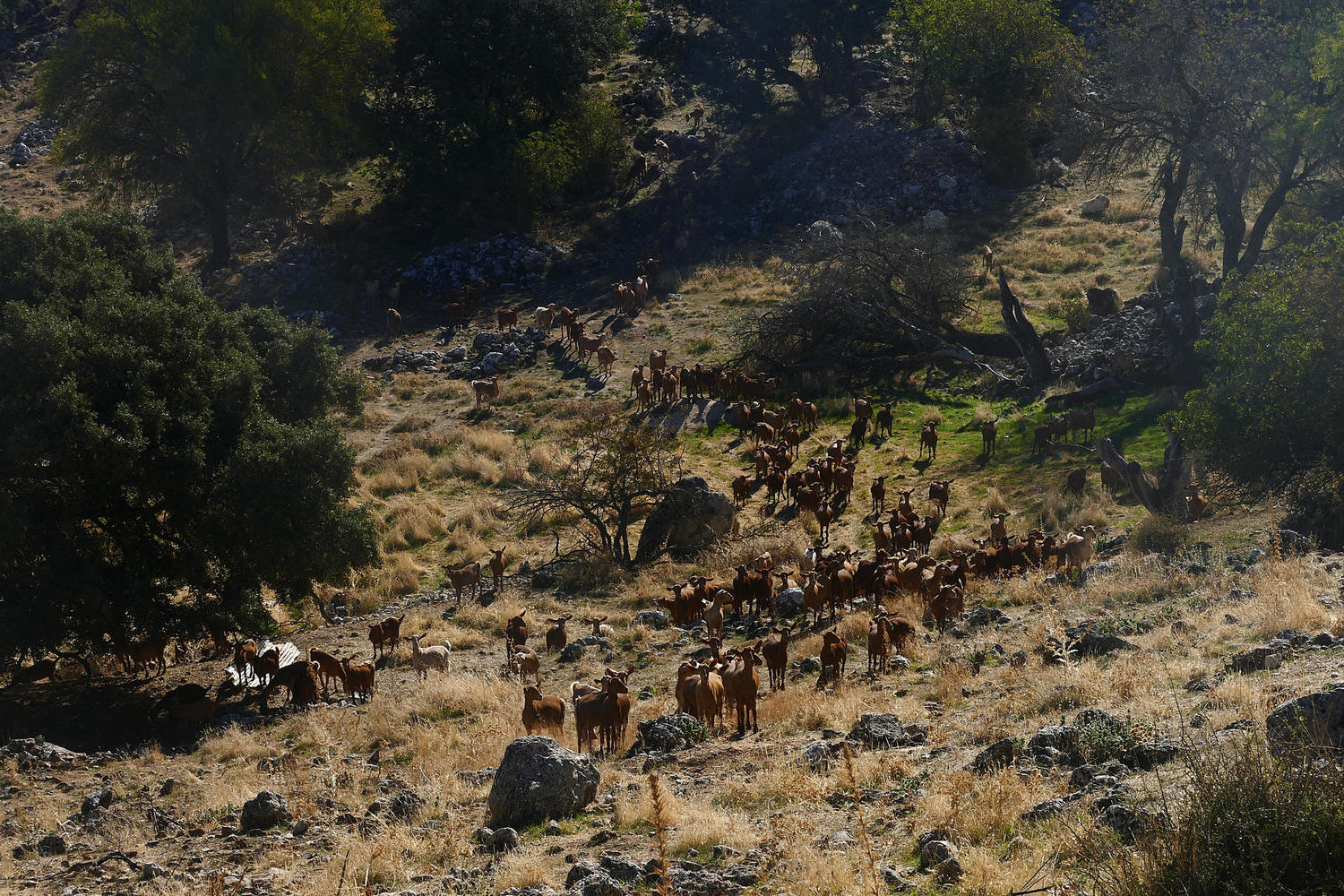 A herd of goats spilling down the hillside of the Sierras Subbeticas