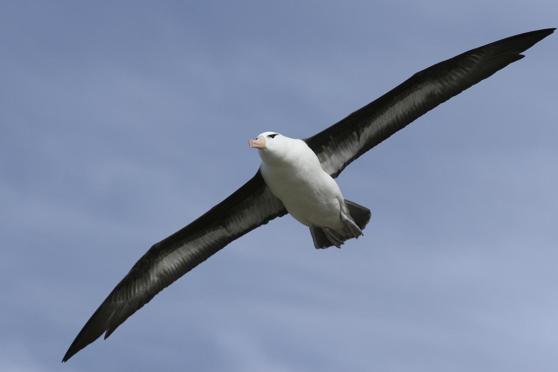 Albatross in flight over the Southern Oceans