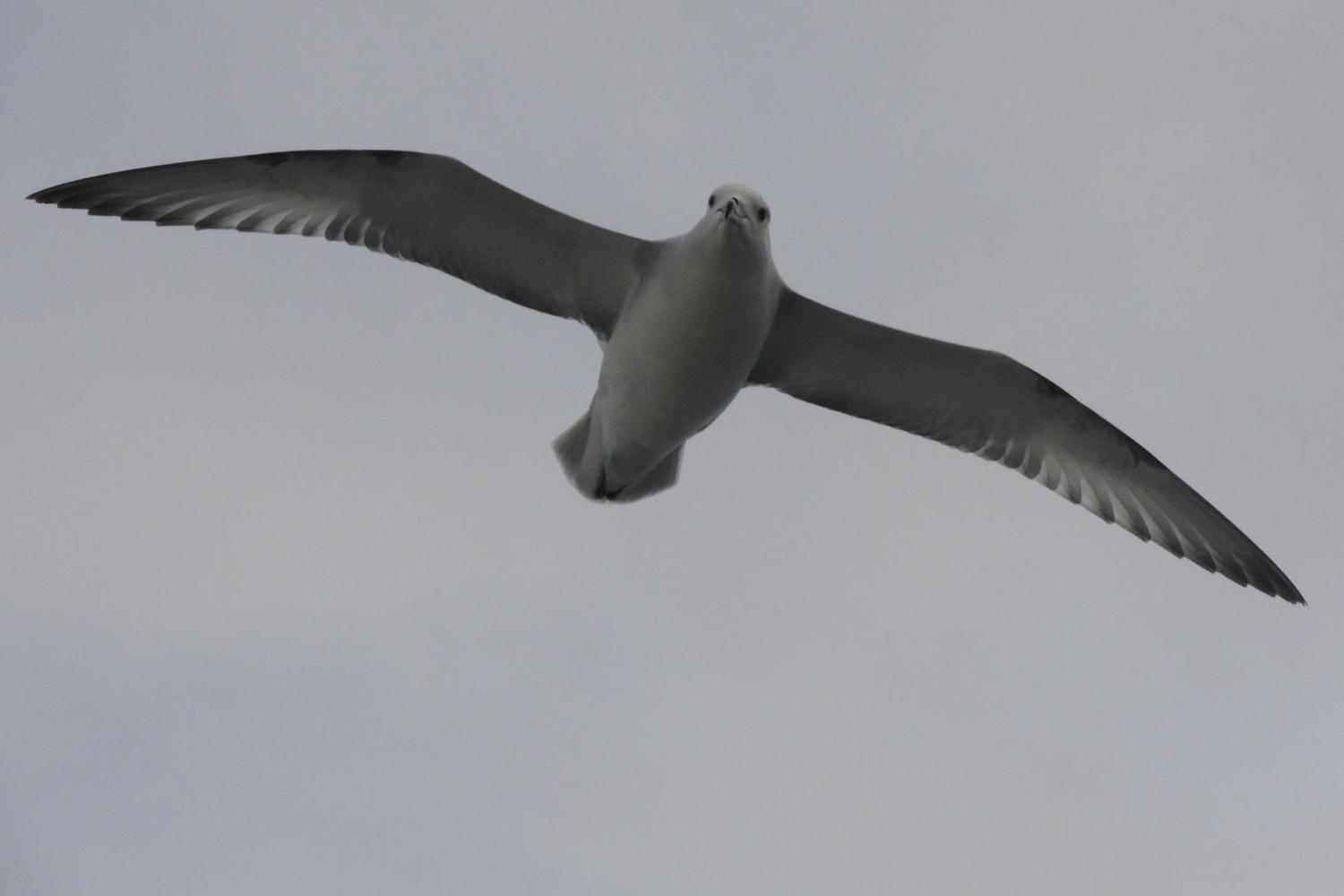 A southern fulmar approaches the ship for a closer look as it sails across the Drake Passage