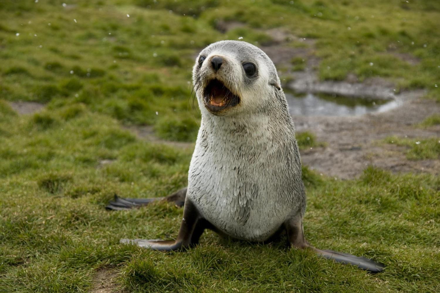 A baby fur seal barking on South Georgia