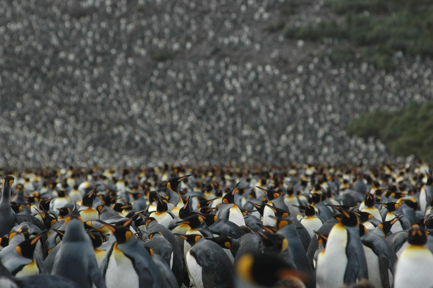 A vast emperor penguin colony on South Georgia