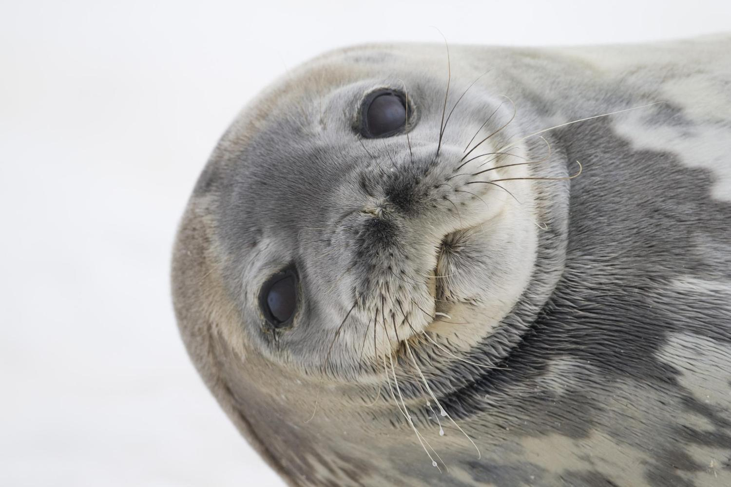 Weddell seal on Cuverville Island in Antarctica
