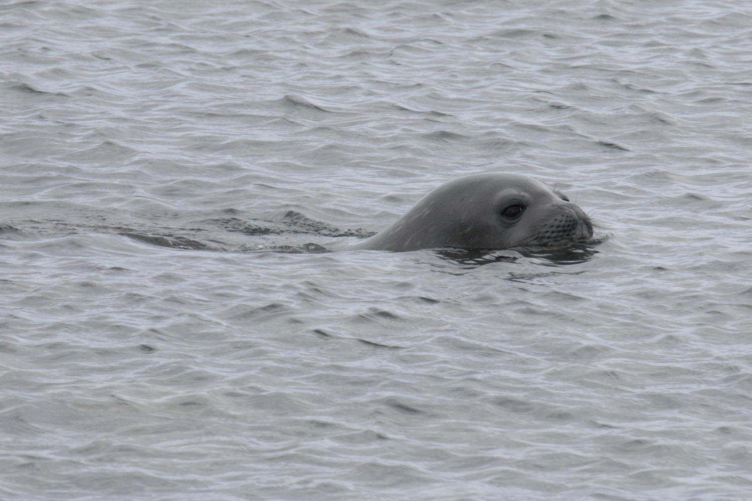 A weddell seal relishes the polar waters