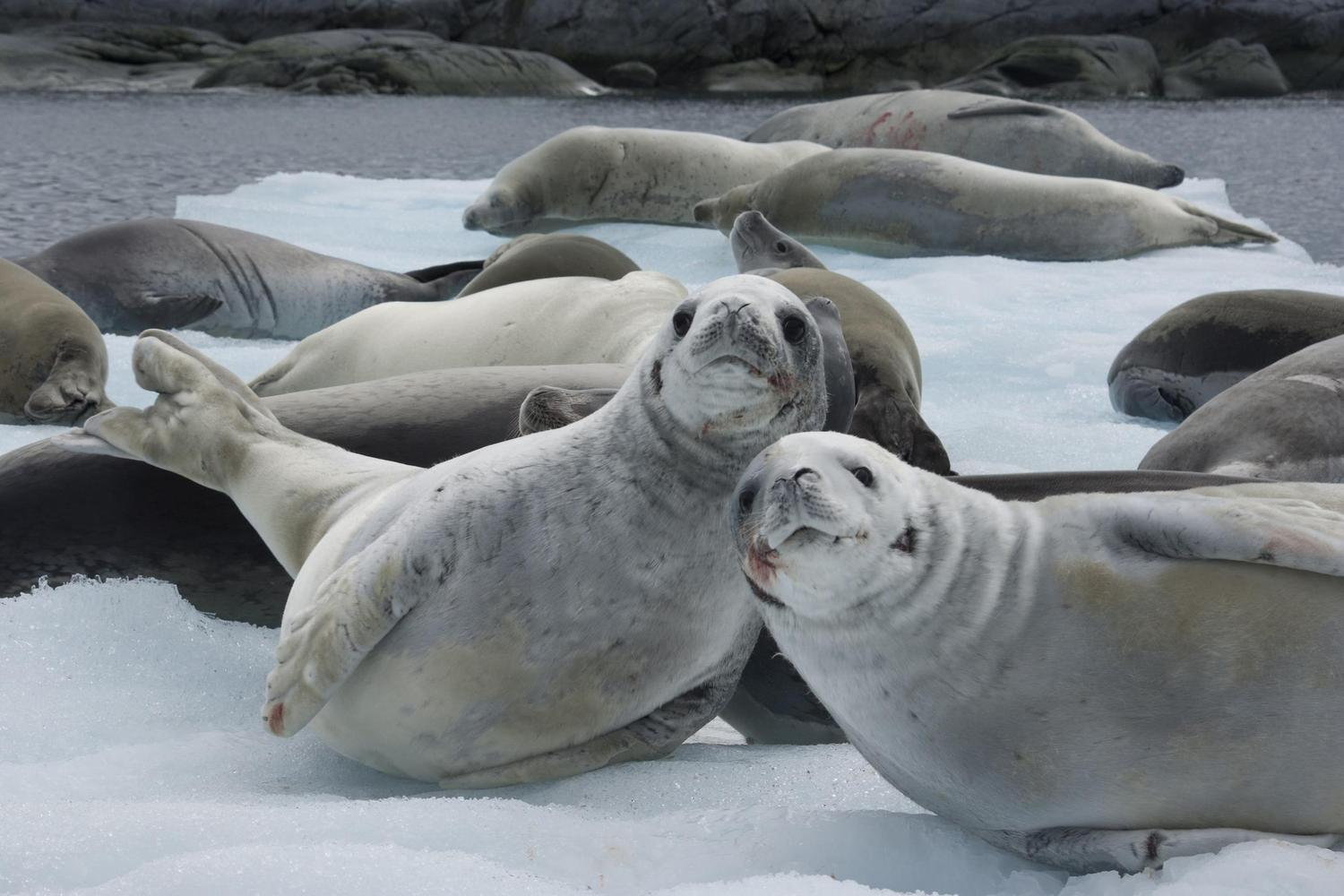 Wedell seals on the Antarctic Peninsula