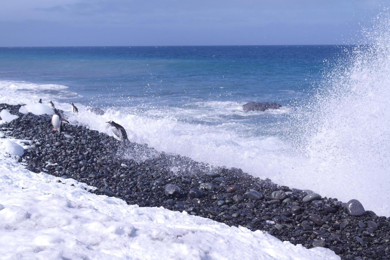 Gentoo penguins ride the surf onto shore at Yankee Harbour