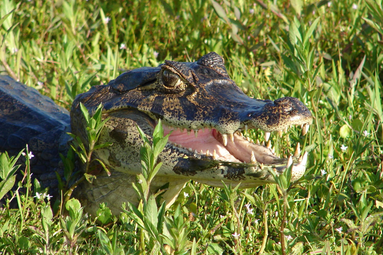 Spectacled caiman in the Ibera wetlands