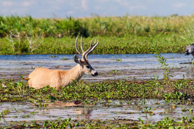 Marsh deer in the Ibera wetlands