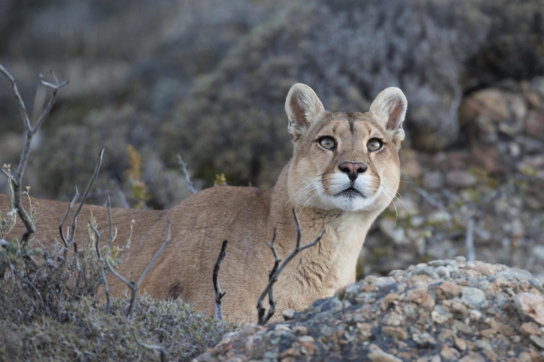 Puma in Parque Patagonia