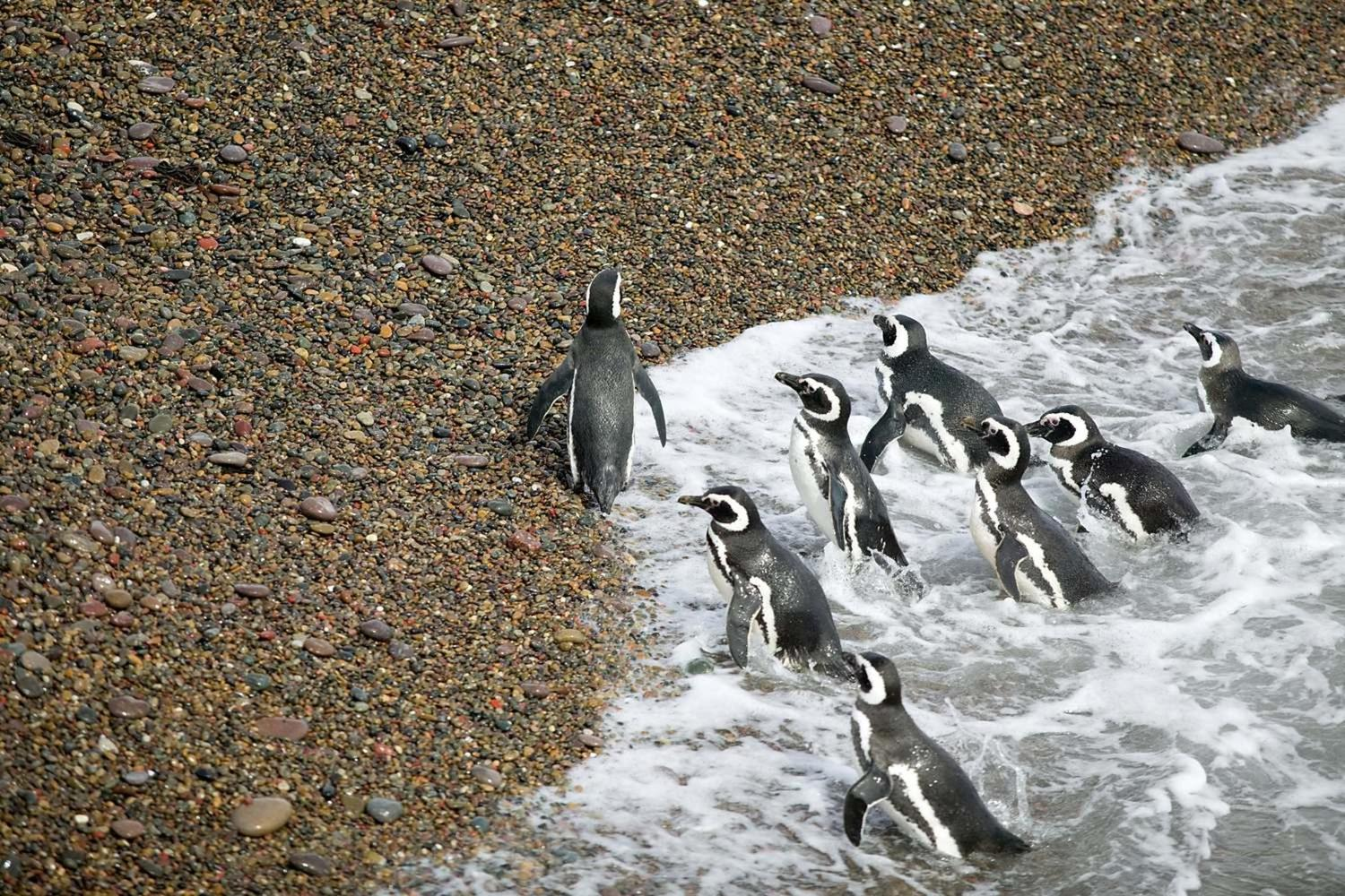 A group of Magellanic Penguins leaving the atlantic ocean at Peninsula Valdes