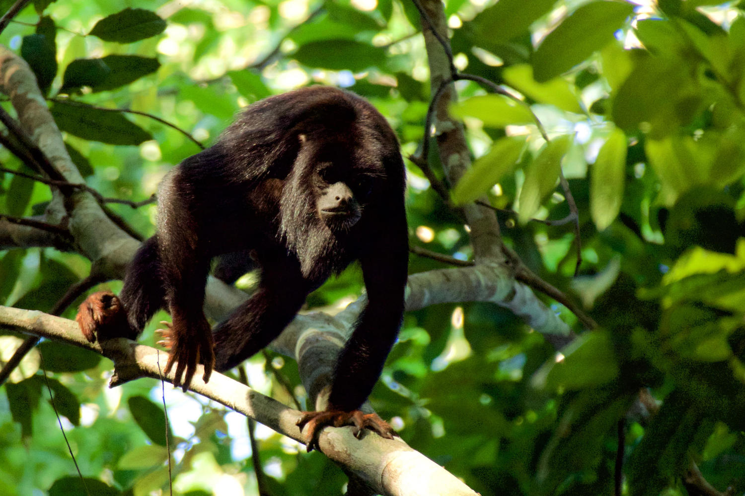 Red handed howler monkey in the Cristalino Reserve, Amazon