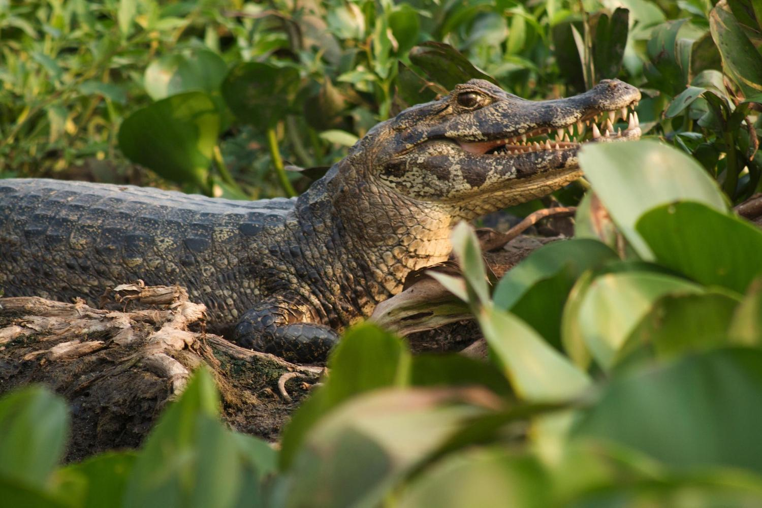 Caiman in the Pantanal, Brazil's best wildlife destination