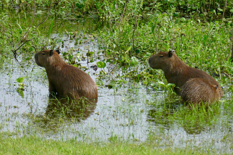 Capybara resting in cool waters at Caiman Lodge, Pantanal