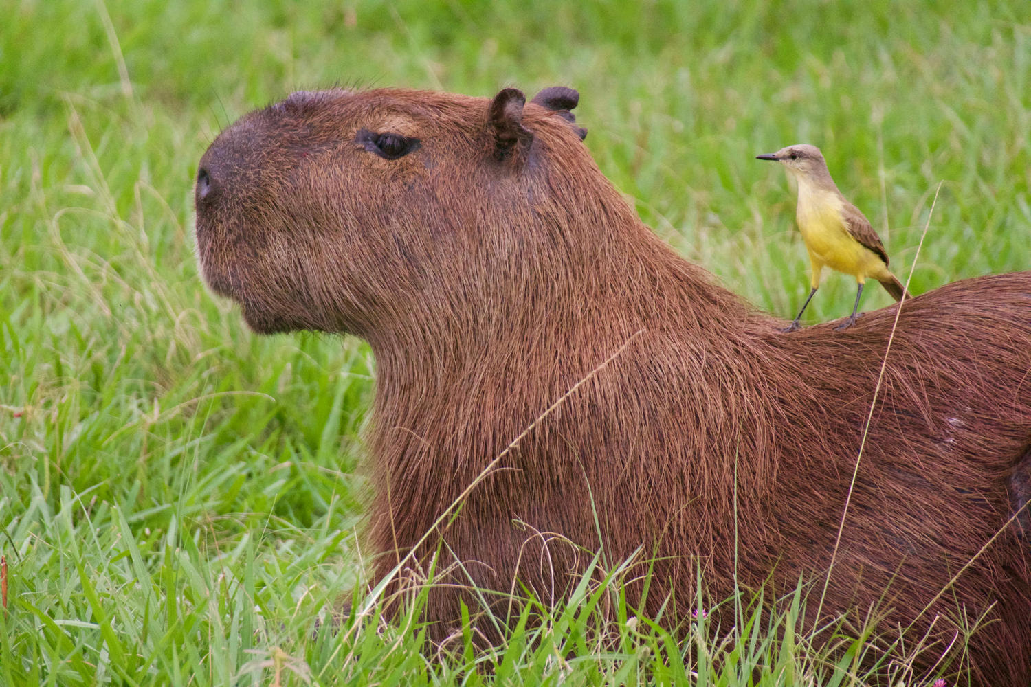 Cattle tyrant on the back of a capybara at Caiman Lodge, Pantanal