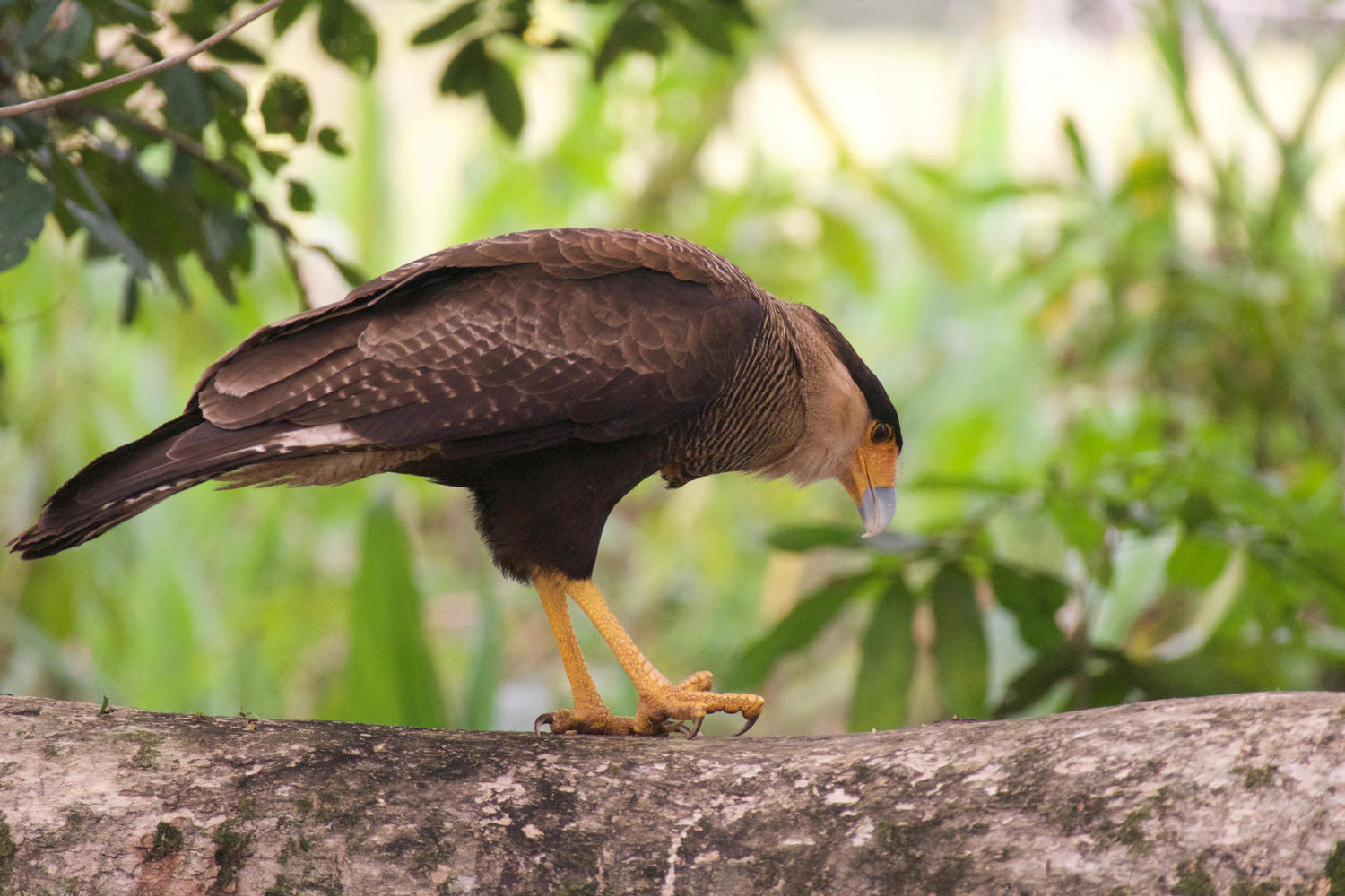 Caracara on a trunk Caiman Lodge, Pantanal
