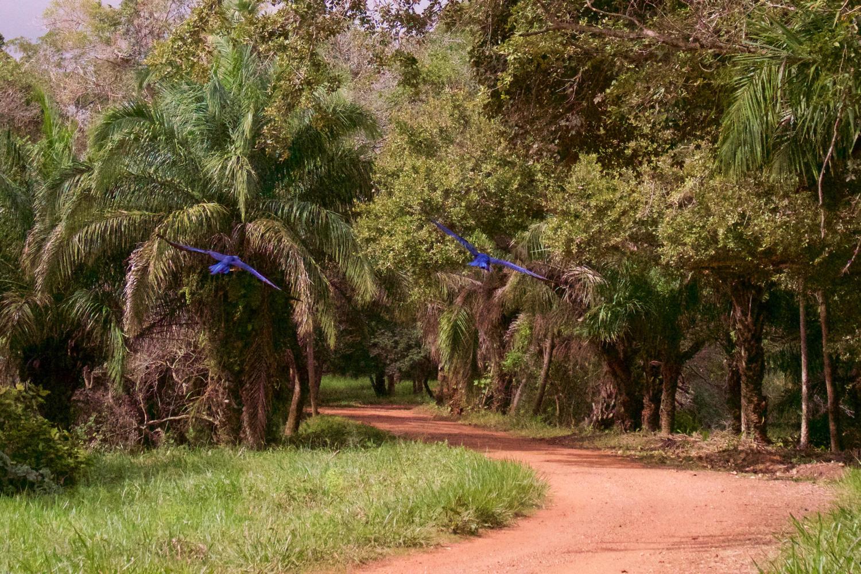 Hyacinth macaws flying at Caiman Lodge, Pantanal