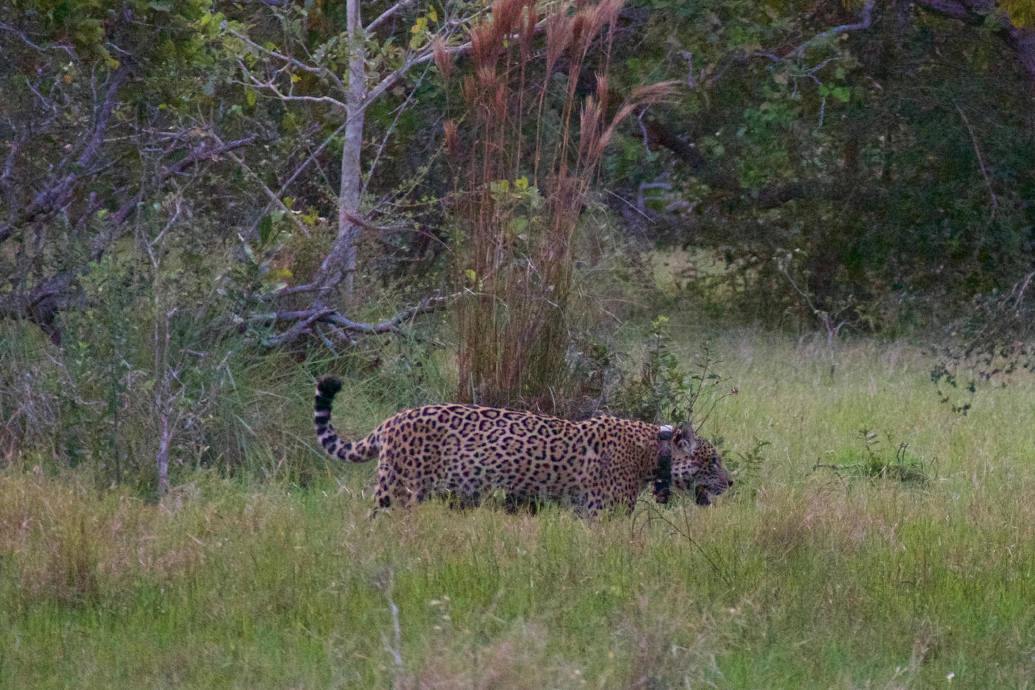 Strolling jaguar at Caiman Lodge, Pantanal
