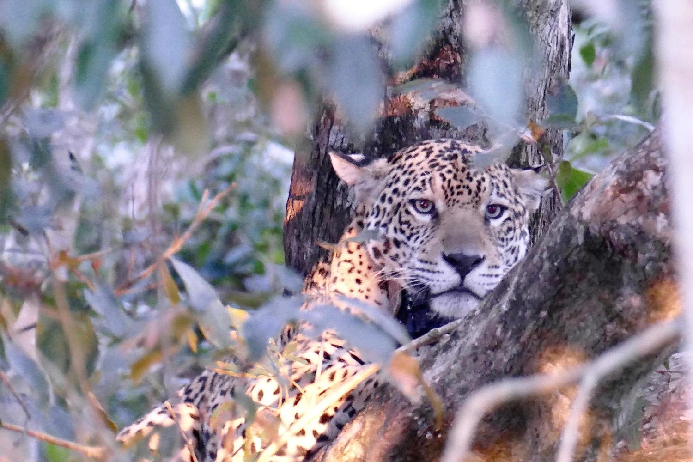 Jaguar resting in a tree at Caiman Lodge, Pantanal