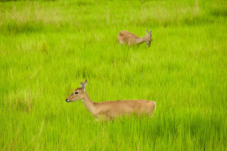 Two marsh deer at Caiman Lodge, Pantanal