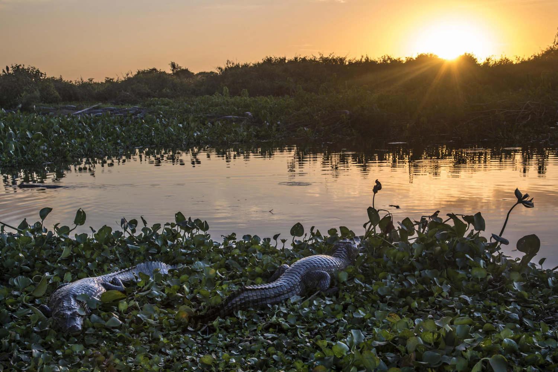 Wild Crocodile in Pantanal National Park
