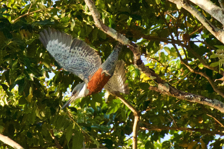 Kingfisher flying in Punta Grossa, near Paraty