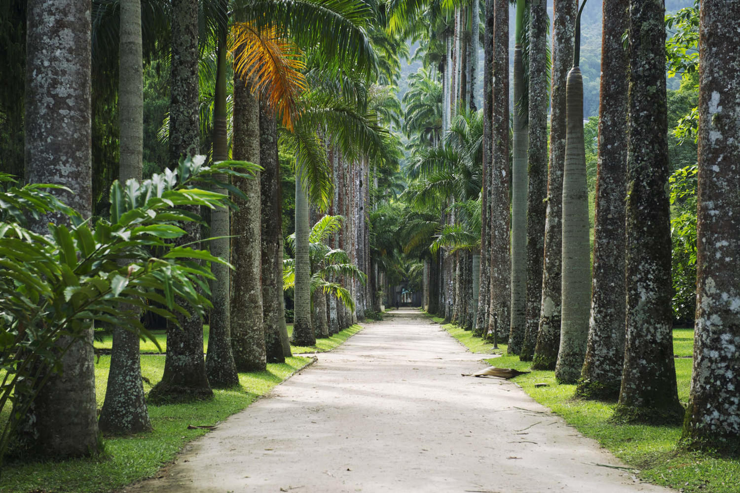 Avenue of royal palm trees at Rio's Jardim Botanico
