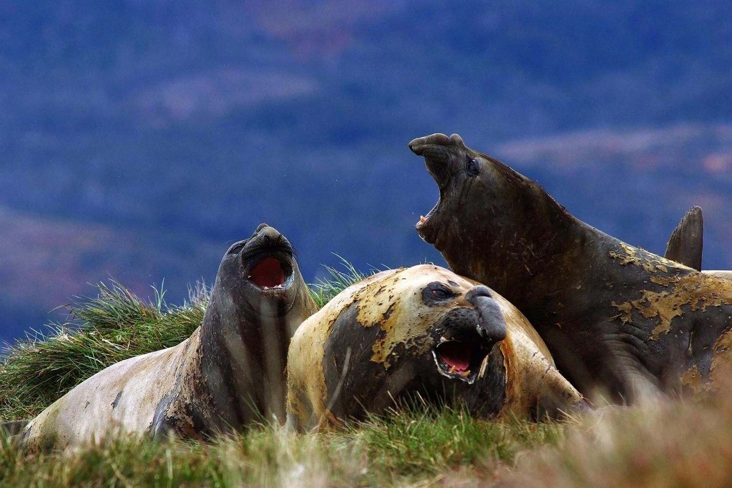 Elephant seals near Cape Horn