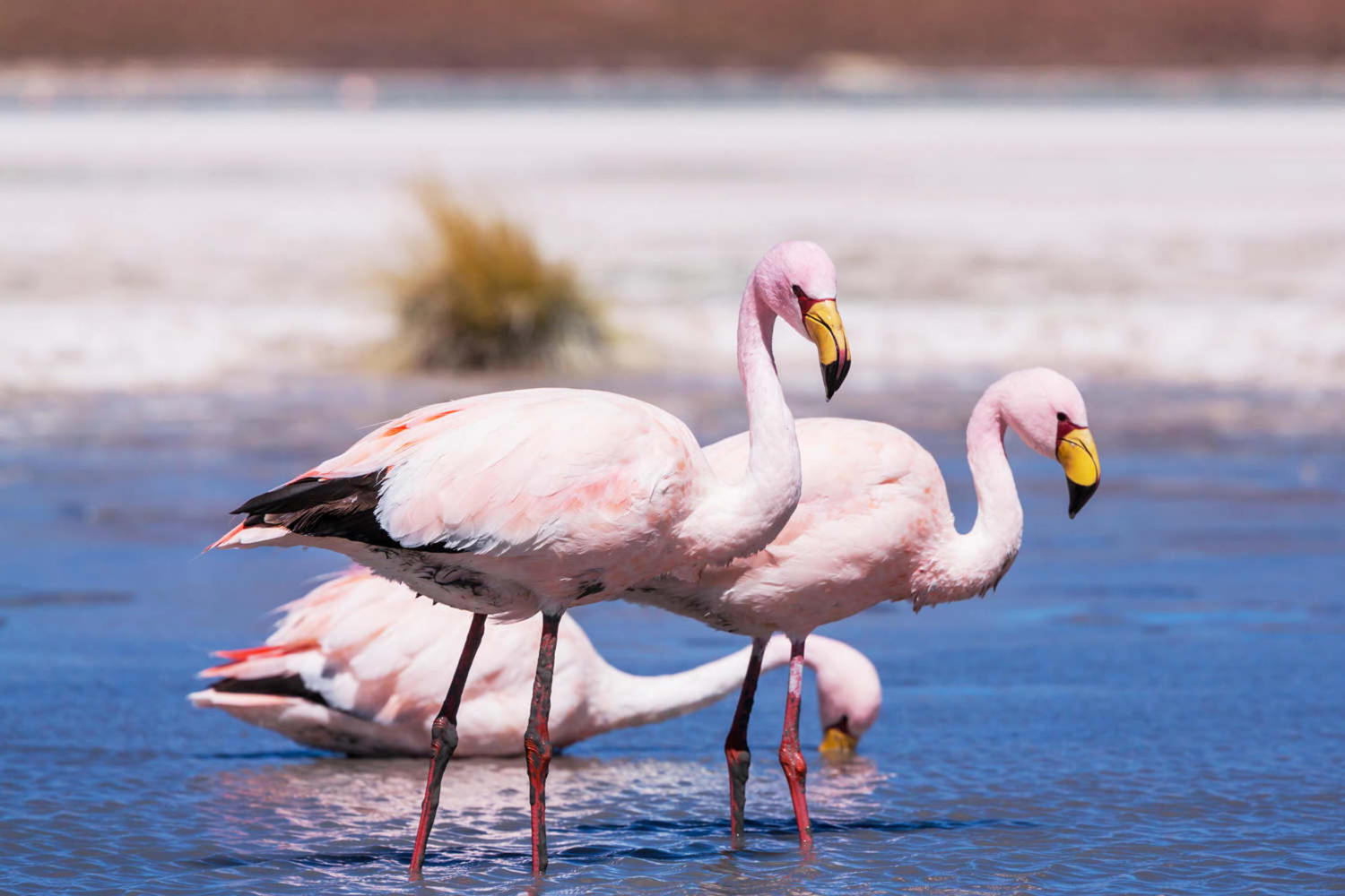 Beautiful flamingoes taking a bath in the Atacama desert
