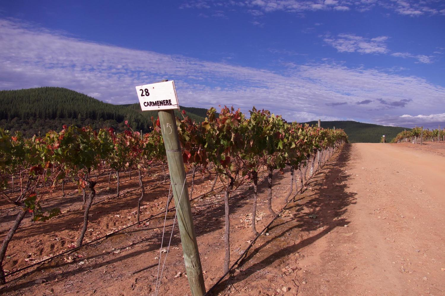 Carmenere vines in the Maule Valley