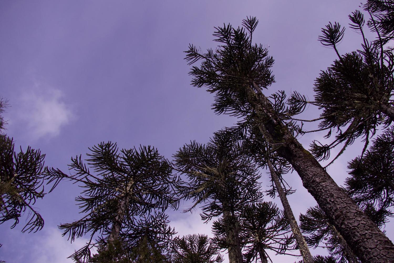 Looming monkey puzzle trees in Nahuelbuta National Park