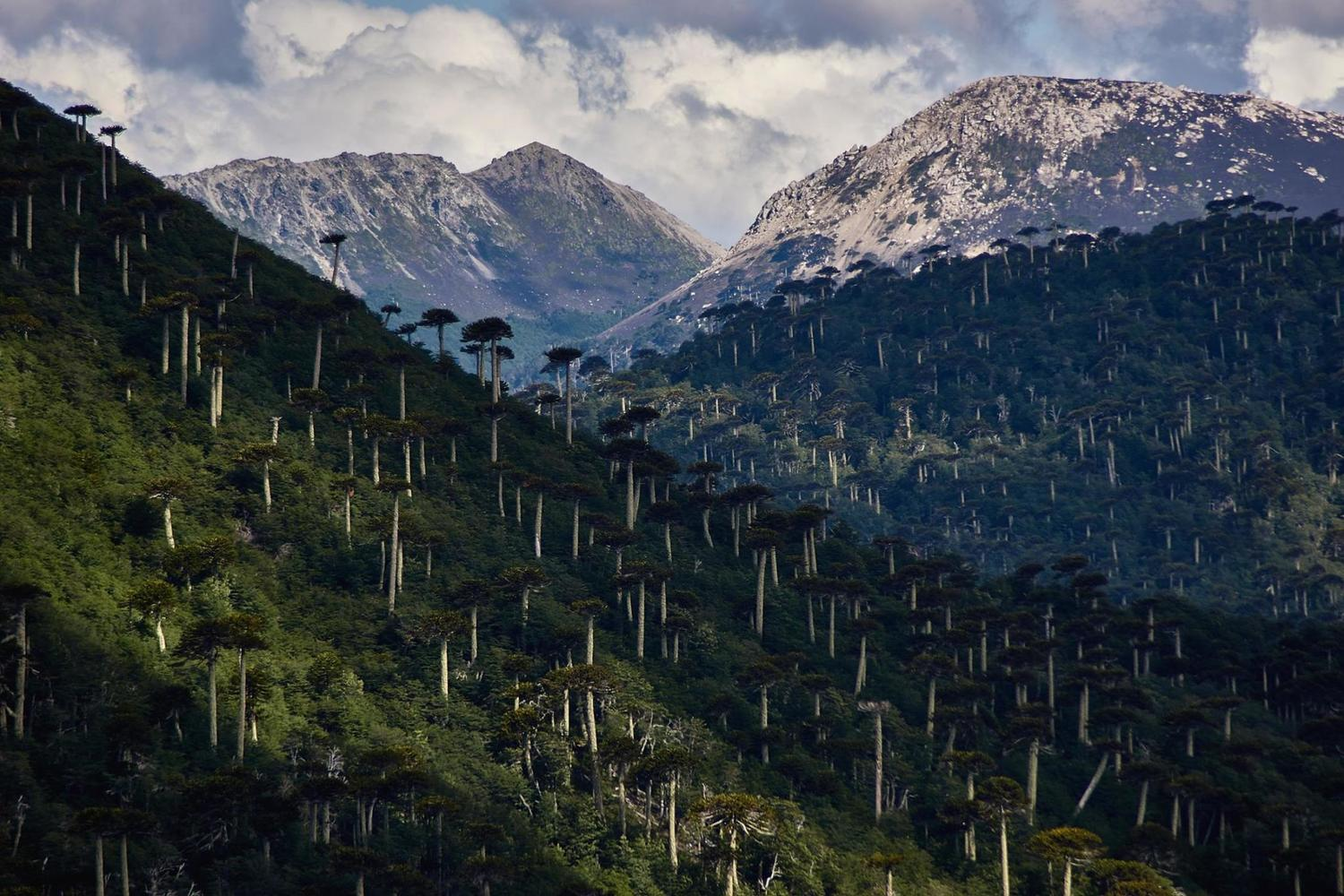 Monkey puzzle trees dotted through the Conguillio National Park