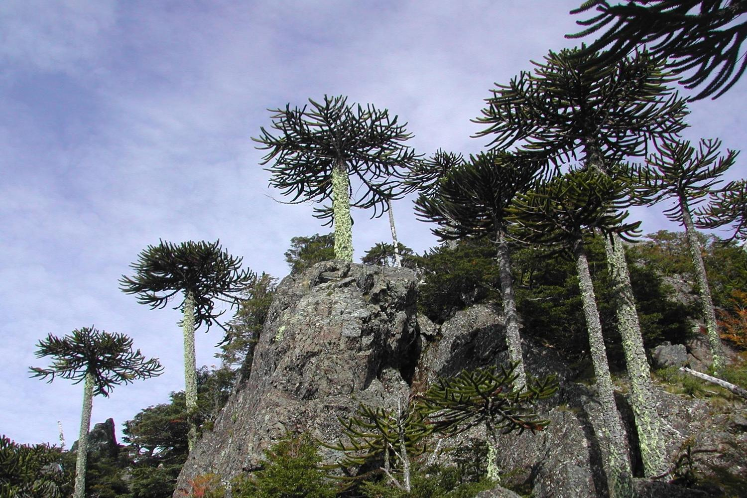 Monkey puzzle forests in the Andes near Pucón