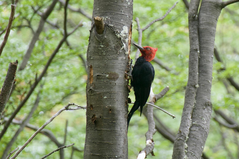 Magellanic woodpecker in the beech forests of Cerro Castillo