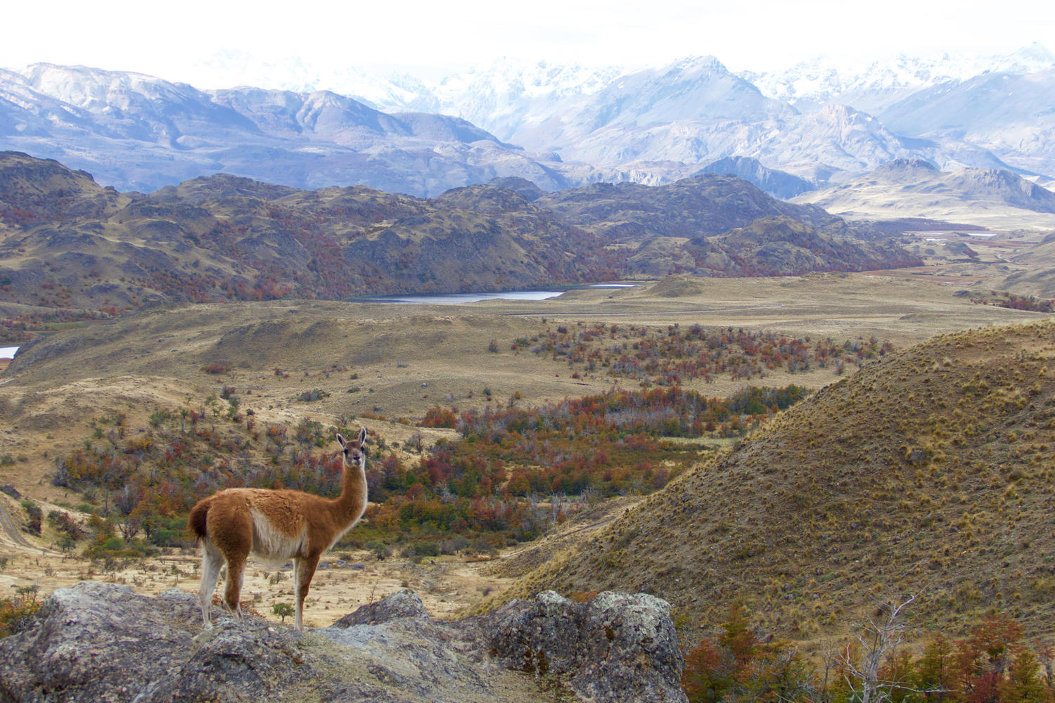 A curious guanaco in the Chacabuco Valley