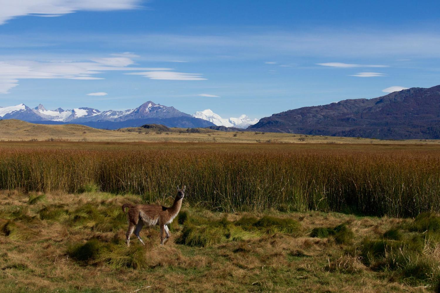 Guanaco grazing in the Parque Patagonia