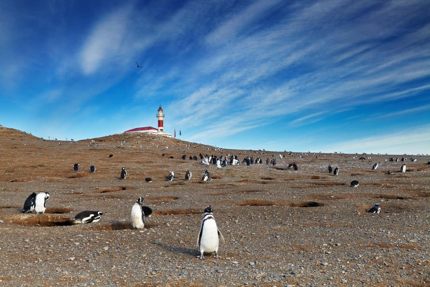 Colony of magellanic penguins on Magdalena island, Strait of Magellan