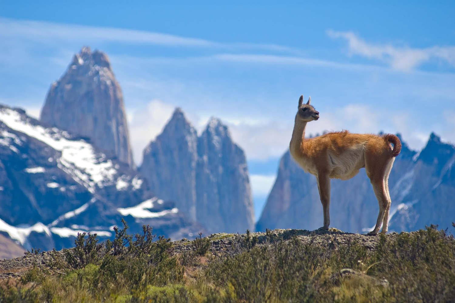 Guanaco admiring the scenery at Torres del Paine