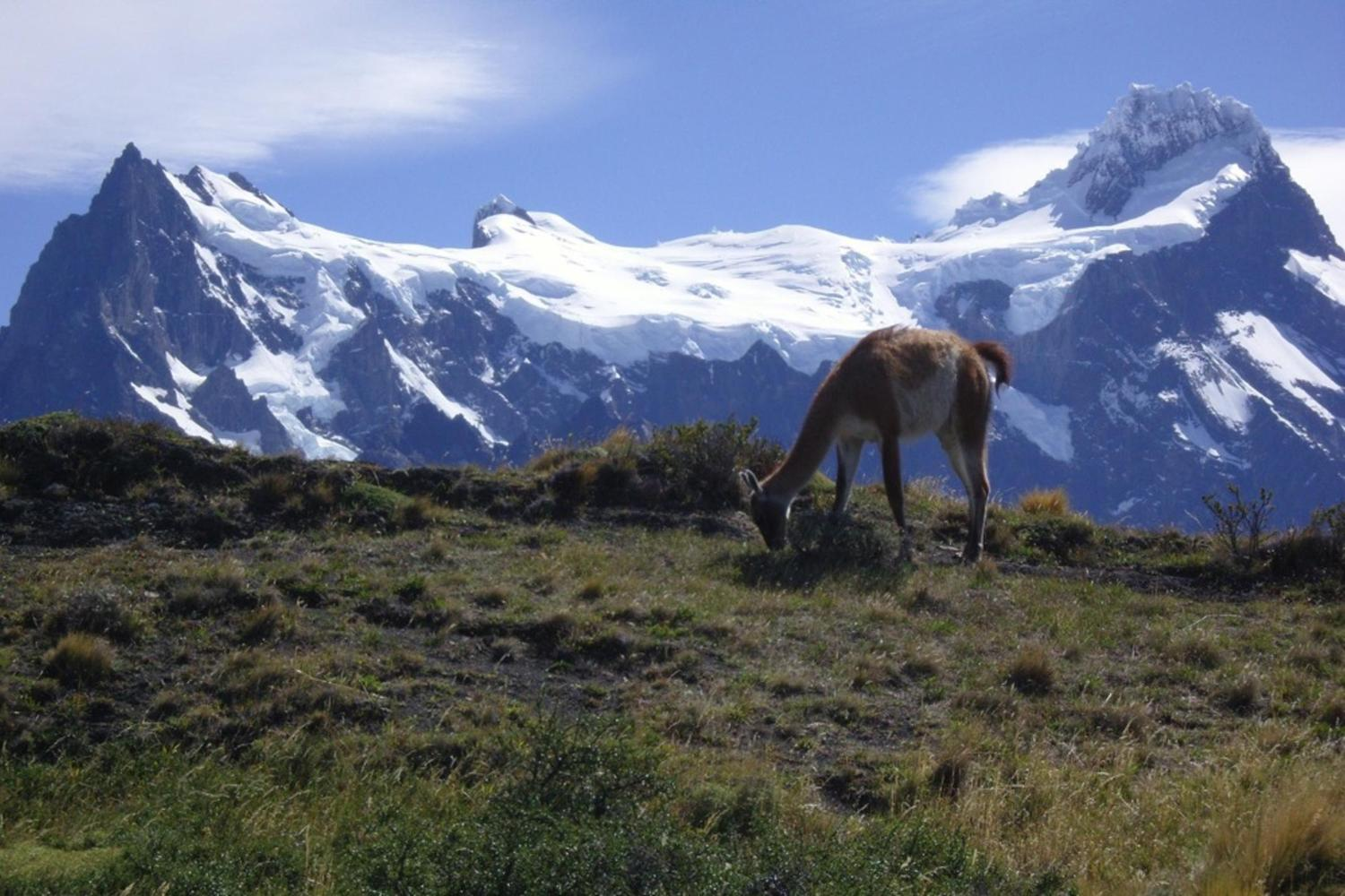 Guanaco grazing in front of the Torres del Paine massif