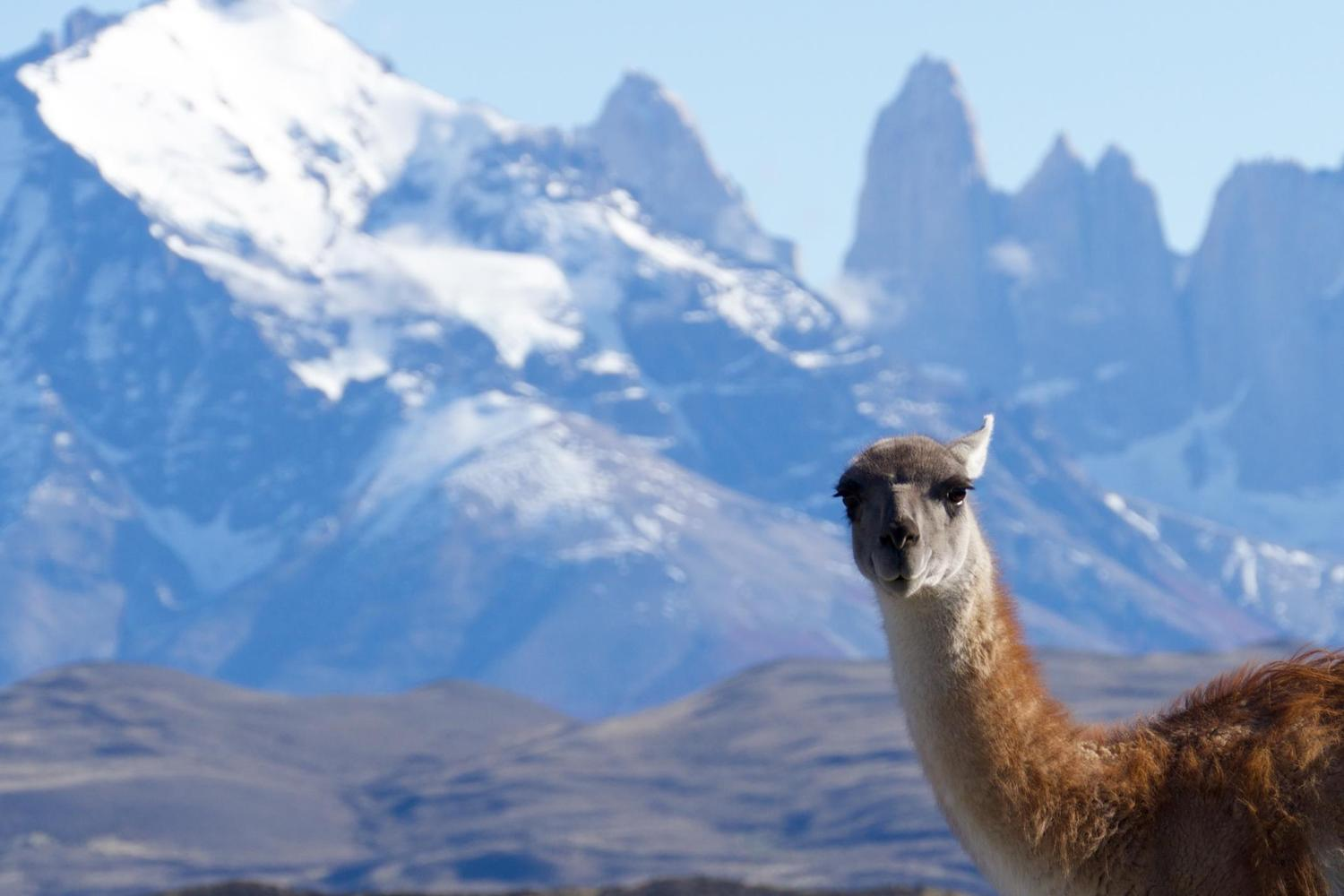 A curious guanaco in Torres del Paine