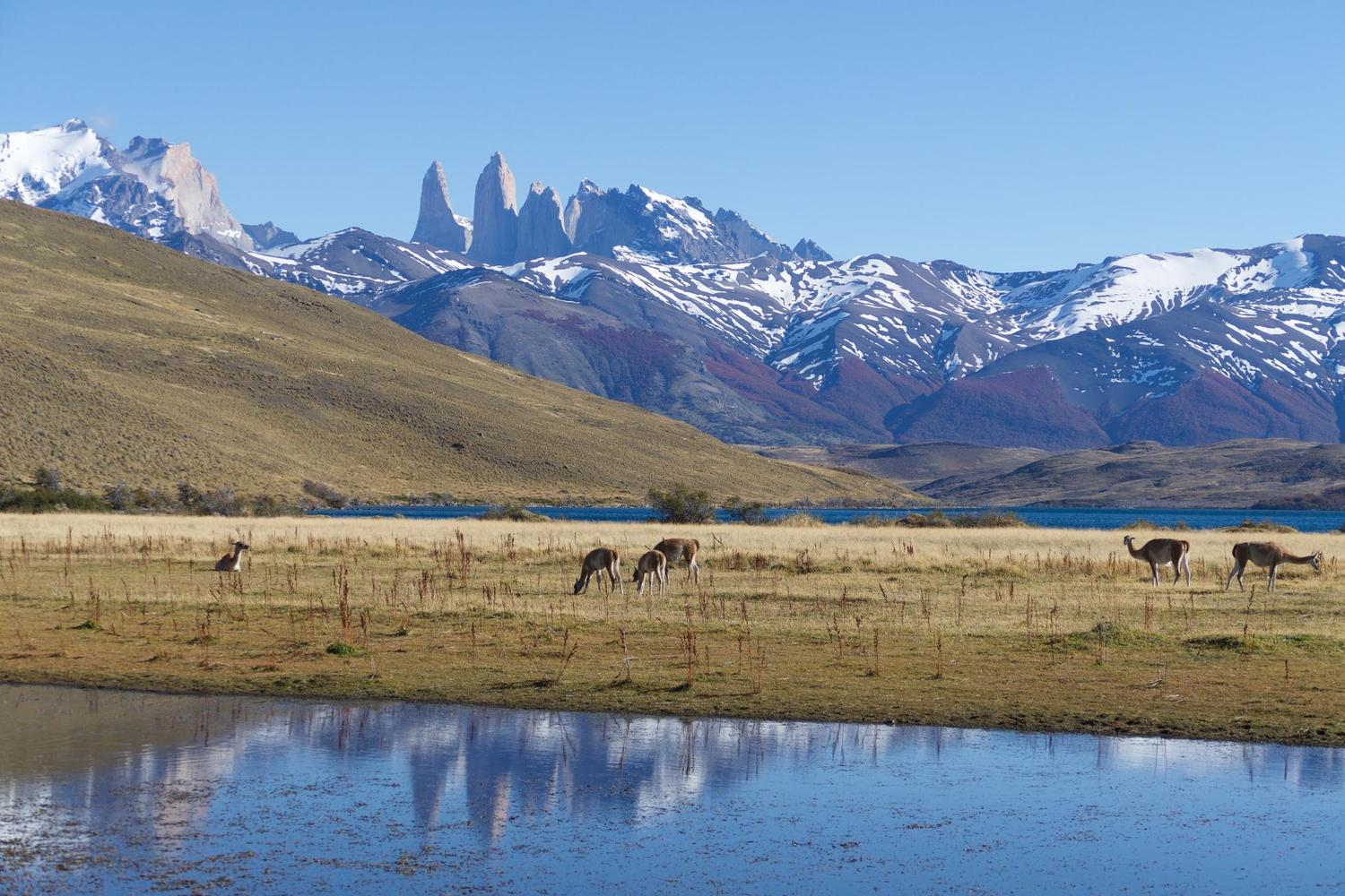 Guanacos grazing at Laguna Azul