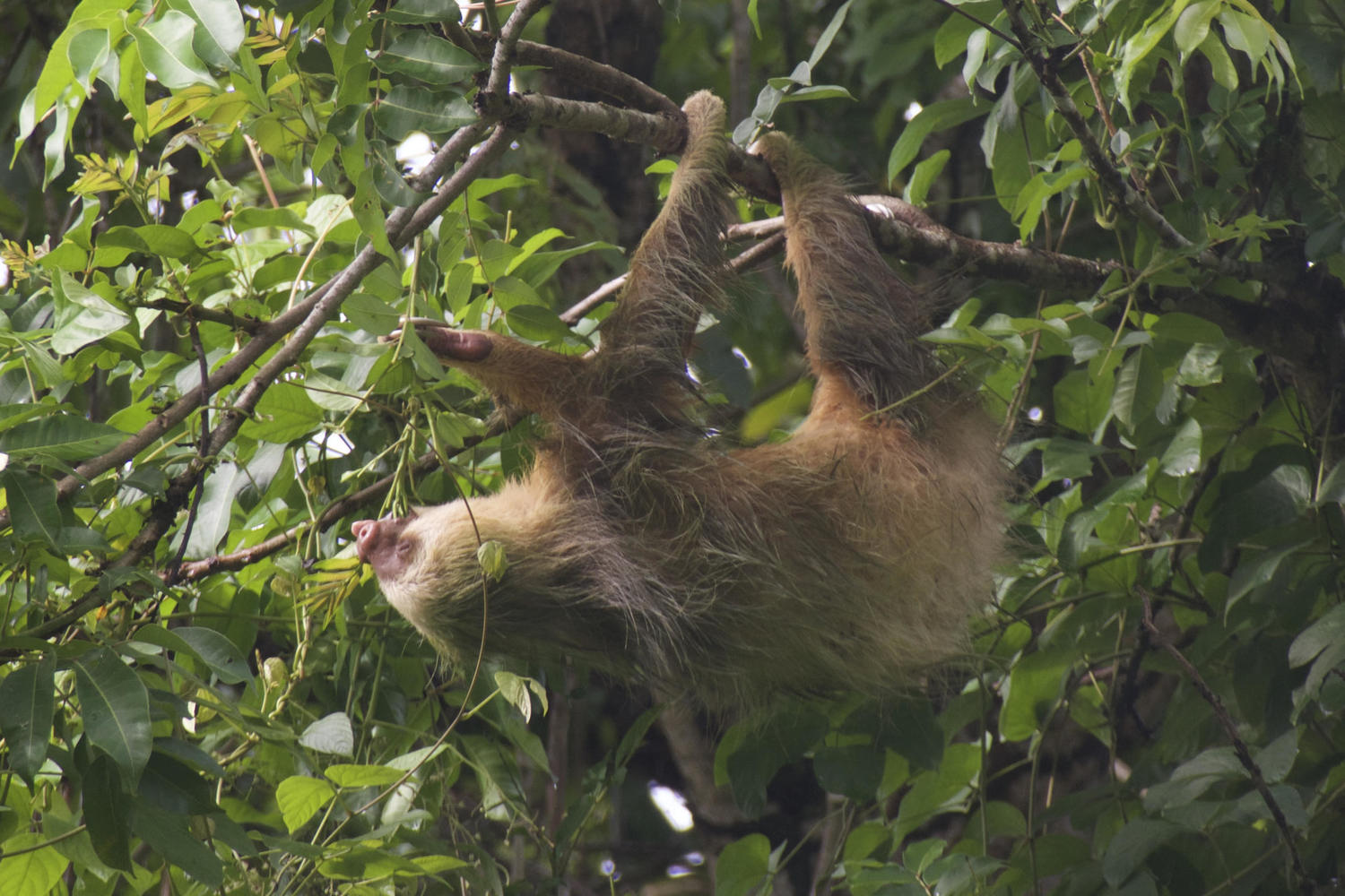 Hanging out in the Caribbean - a two-toed sloth in Cahuita